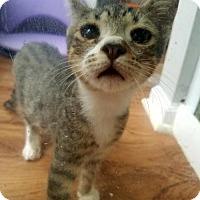 Domestic Shorthair Kitten for adoption in Trenton, New Jersey - Dannon