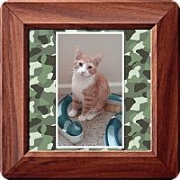 Adopt A Pet :: HULK - Cedar Springs, MI