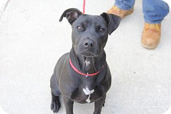 Pit Bull Terrier Mix Dog for adoption in Greensboro, North Carolina - Diva