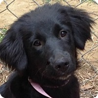 Spaniel (Unknown Type)/Great Pyrenees Mix Dog for adoption in Spring Valley, New York - Annabelle