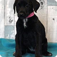 Labrador Retriever Mix Puppy for adoption in Waldorf, Maryland - Mai Tai