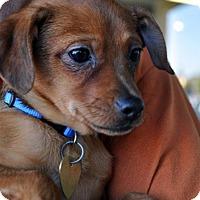 Chihuahua Mix Puppy for adoption in Fairfax Station, Virginia - Nubbin