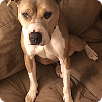 Pit Bull Terrier Dog for adoption in Bridgewater, New Jersey - Jasmine