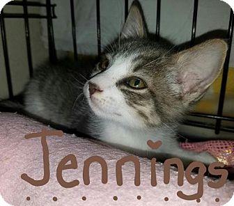 Domestic Shorthair Kitten for adoption in Glendale, Arizona - Jennings