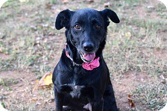 Retriever (Unknown Type)/Labrador Retriever Mix Dog for adoption in Hagerstown, Maryland - Bonnie