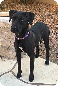 Labrador Retriever/Terrier (Unknown Type, Medium) Mix Dog for adoption in Phoenix, Arizona - Beauty
