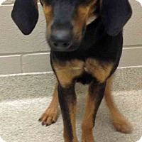 Hound (Unknown Type) Mix Puppy for adoption in Channahon, Illinois - Jocelyn
