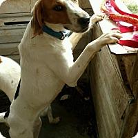Adopt A Pet :: Mick - Sherman, CT