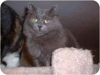 Domestic Mediumhair Cat for adoption in Lethbridge, Alberta - Molly