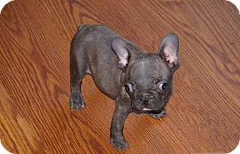French bulldog puppies for sale kijiji