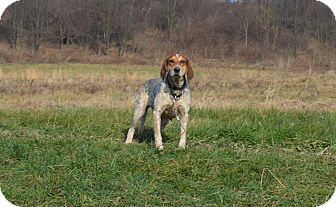 Bluetick Coonhound Mix Dog for adoption in New Cumberland, West Virginia - Lady