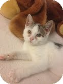 Domestic Shorthair Kitten for adoption in East Brunswick, New Jersey - Holly