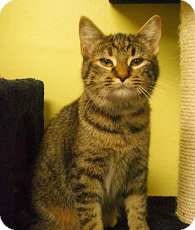 Domestic Shorthair Cat for adoption in Byron Center, Michigan - Julianna