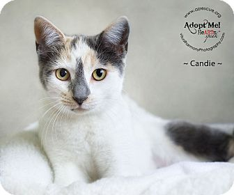 Domestic Shorthair Cat for adoption in Phoenix, Arizona - Candie