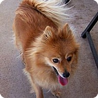 Adopt A Pet :: Honey - San Angelo, TX