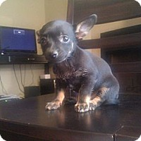 Adopt A Pet :: Olivia - Inglewood, CA