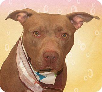 American Bulldog/Labrador Retriever Mix Dog for adoption in Cincinnati, Ohio - Sherlock