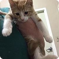 Adopt A Pet :: 16-02-0392a Ginger - Dallas, GA