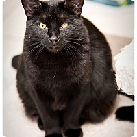 Domestic Shorthair Cat for adoption in Middletown, New York - Joan Jett