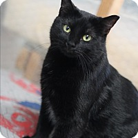 Domestic Shorthair Cat for adoption in Metairie, Louisiana - Ebony