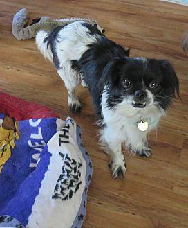 Cavalier King Charles Spaniel/Pekingese Mix Dog for adoption in Studio City, California - Safra