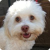 Adopt A Pet :: Stardust - Santa Ana, CA