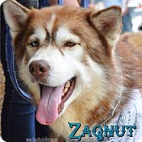 Adopt A Pet :: Zagnut- Foster Needed! - Carrollton, TX
