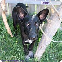 Adopt A Pet :: Deke - Needs Foster - Bloomington, MN