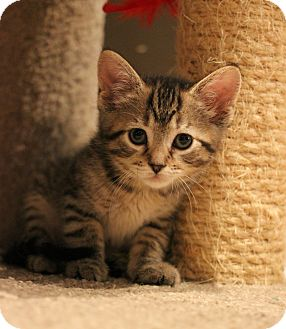 Domestic Shorthair Kitten for adoption in Carlisle, Pennsylvania - Chloe