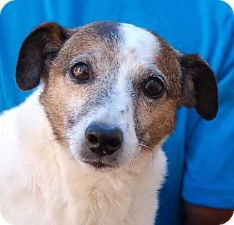 Jack Russell Terrier Mix Dog for adoption in Las Vegas, Nevada - Beau Beau