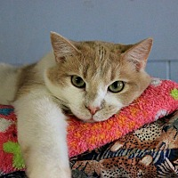 Domestic Shorthair Cat for adoption in New Richmond,, Wisconsin - Tony