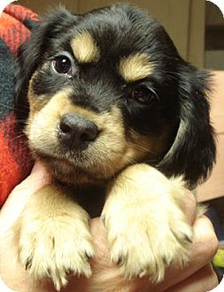 Boxer/Spaniel (Unknown Type) Mix Puppy for adoption in Dallas, Texas - CHINA