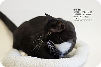 Domestic Shorthair Cat for adoption in Houston, Texas - WONTON