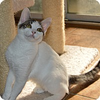 Domestic Shorthair Kitten for adoption in Richmond, Virginia - Eartha