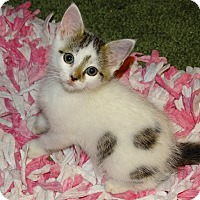 Adopt A Pet :: Sapporo-Lap kitten born mid Au - Taylor Mill, KY