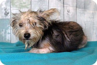 Yorkie, Yorkshire Terrier Mix Puppy for adoption in Waldorf, Maryland - Darcy