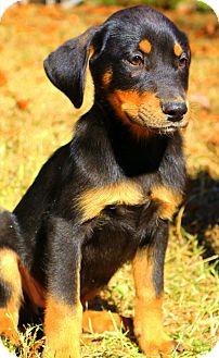 Rottweiler/Labrador Retriever Mix Puppy for adoption in Glastonbury, Connecticut - Reagan~adopted!