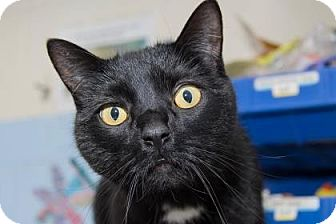 Domestic Shorthair Cat for adoption in Lowell, Massachusetts - Dippy