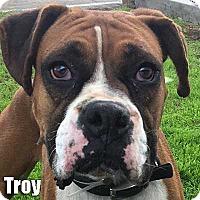 Adopt A Pet :: Troy - Encino, CA