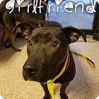 Adopt A Pet :: Girlfriend - Garden City, MI