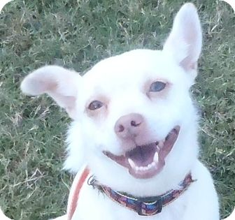 Rat Terrier/Feist Mix Dog for adoption in Chapel Hill, North Carolina - Lilly