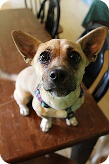 Chihuahua/Corgi Mix Puppy for adoption in Hagerstown, Maryland - Harley