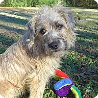Adopt A Pet :: Scruffy - Mocksville, NC
