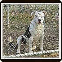 Adopt A Pet :: Spanky - McKinney, TX