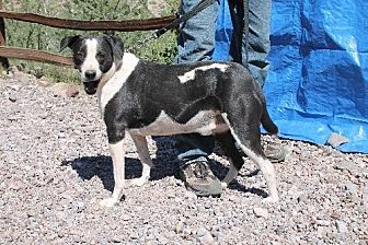 Terrier (Unknown Type, Medium)/Coonhound Mix Dog for adoption in Golden Valley, Arizona - Kevin