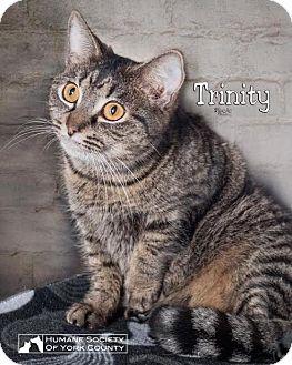 Domestic Mediumhair Cat for adoption in Fort Mill, South Carolina - Trinity 5583