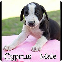 Adopt A Pet :: Cypress (Reduced) - Spring Valley, NY