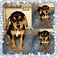 Adopt A Pet :: Tinkerbelle-pending adoption - Manchester, CT