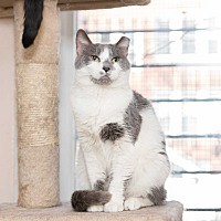 Domestic Shorthair Cat for adoption in Chicago, Illinois - Emily