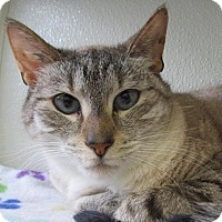 Siamese Cat for adoption in Cumberland, Maine - Simon 2